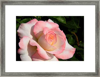 Pink Edge Rose Framed Print