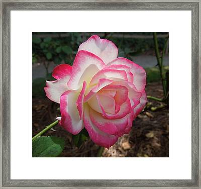 Pink Edges Framed Print