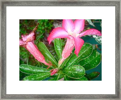Pink Flower And Raindrops 1 Framed Print