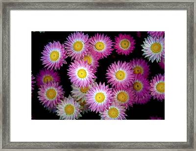 Pink Flowers At Dawn 3 Framed Print by Sumit Mehndiratta