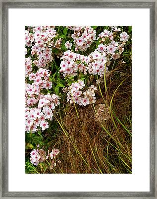 Pink Flowers Of Phlox Paniculata - Miss Wilma  (perennial Phlox)  With Stipa Arundinacea (pheasant Grass) In A Piet Oudolf Inspired Garden, August  Coldcoates Farm, York Owner: Penny Jones Framed Print by Suzie Gibbons