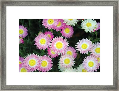 Pink Flowers Framed Print by Sumit Mehndiratta