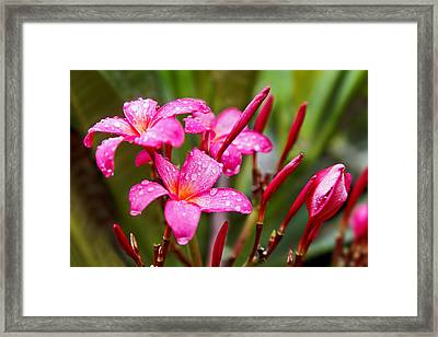 Pink Fluted Hibiscus In The Monsoons Framed Print by Kantilal Patel