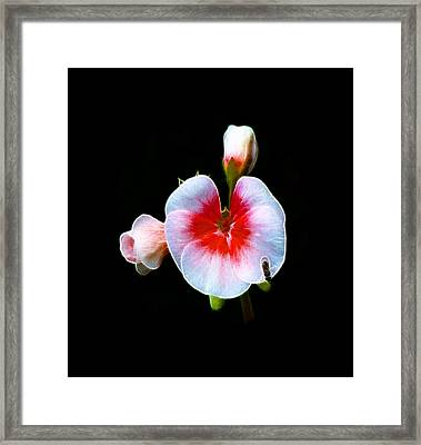 Framed Print featuring the photograph Pink Geranium by Lynn Bolt