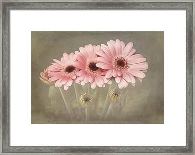 Pink Gerbera Daisys Framed Print by Fiona Messenger