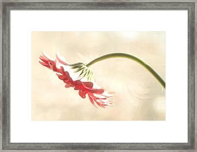 Pink Gerbera Framed Print by Diane Giurco