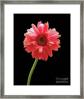 Pink Gerbera Framed Print