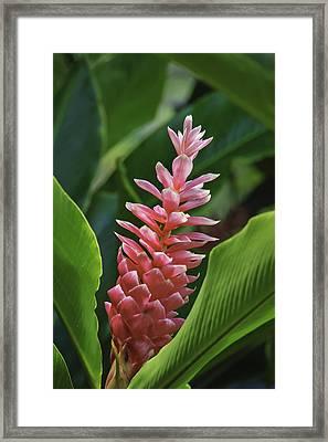 Pink Ginger Framed Print by Greg Vaughn