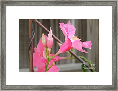 Pink Hibiscus 1 Framed Print