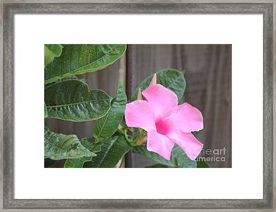Pink Hibiscus 2 Framed Print