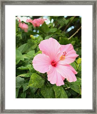 Framed Print featuring the photograph Pink Hibiscus by Craig Wood