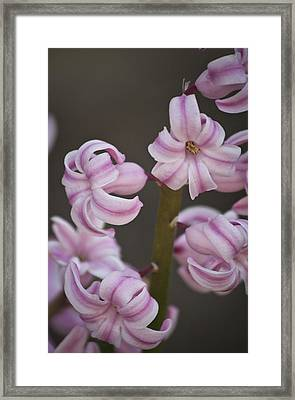 Pink Hyacinth 2 Framed Print by Teresa Mucha