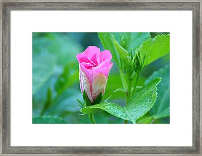 Pink Hybiscus Bud Framed Print