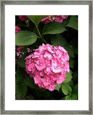 Pink Hydranga Framed Print by Claude McCoy