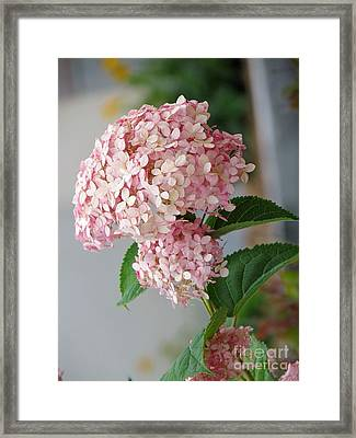 Framed Print featuring the photograph Pink Hydrangea by France Laliberte