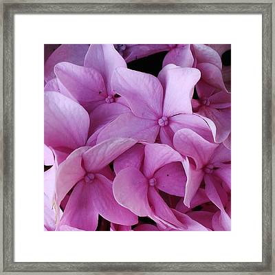 Pink Hydrangea Up Close Framed Print by Bruce Bley