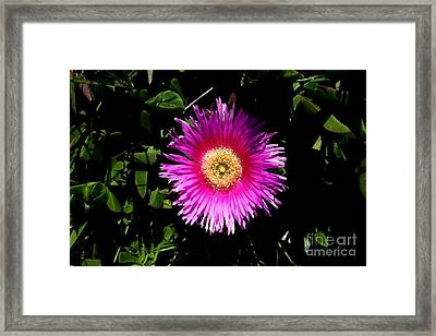 Pink Ice Plant Flower . Carpobrotus Edulis Succulent . 7d15070 Framed Print by Wingsdomain Art and Photography