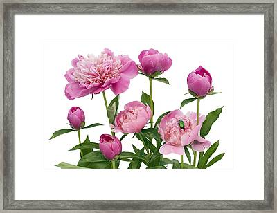 Framed Print featuring the photograph Pink June Peonies And A Green Bug by Aleksandr Volkov