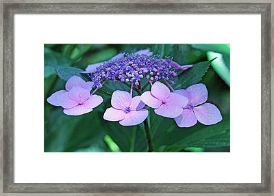 Pink Lacecap Hydrangea Framed Print by Becky Lodes
