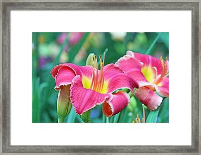 Pink Lilies Framed Print by Becky Lodes