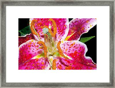 Pink Lilly In The Rain Framed Print by Michelle Armstrong
