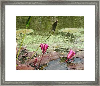 Pink Lilly Pond Framed Print by Rosie Brown