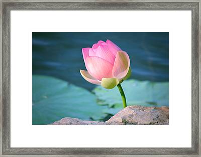 Pink Lotus 2 Framed Print by Julie Palencia