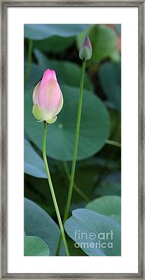 Pink Lotus Buds Framed Print by Sabrina L Ryan