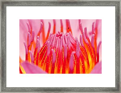 Pink Lotus In Thailand Framed Print by Chatchawin Jampapha