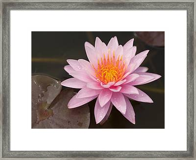 Pink Lotus On The River  Framed Print