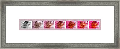 Pink Lotus Framed Print by Sumit Mehndiratta