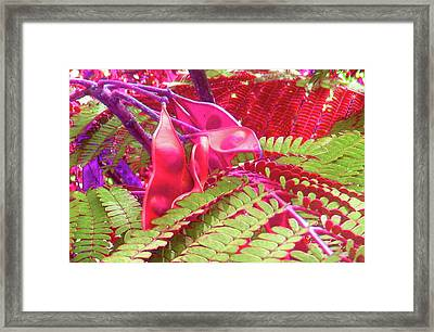 Pink Mimosa Framed Print by Juliana  Blessington