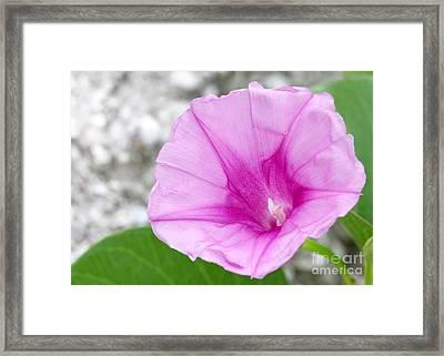 Pink Morning Glory Flower Framed Print by Sabrina L Ryan