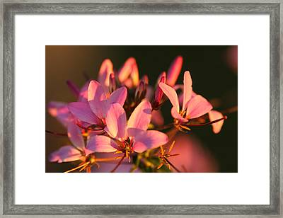 Pink Morning Framed Print