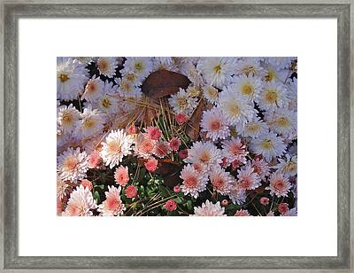 Framed Print featuring the photograph Pink Mum by Joseph Yarbrough