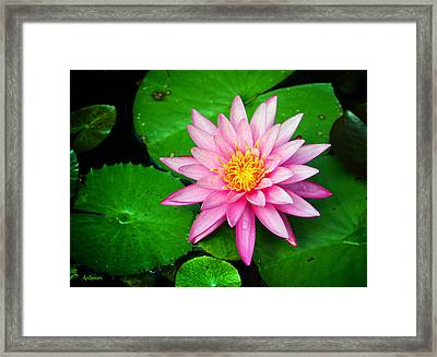 Pink Nymphaea Framed Print
