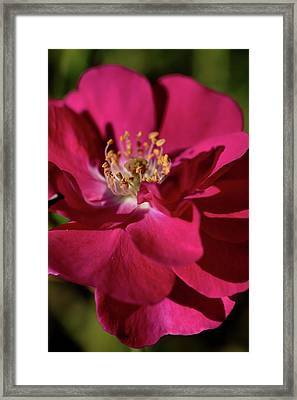 Framed Print featuring the photograph Pink Of Rose by Joy Watson