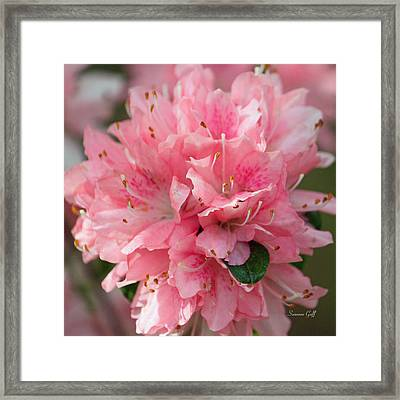 Pink On Pink Squared Framed Print by Suzanne Gaff