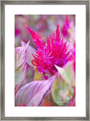 Pink Passion Framed Print by First Star Art