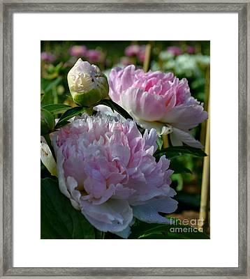 Pink Peonies-40 Framed Print