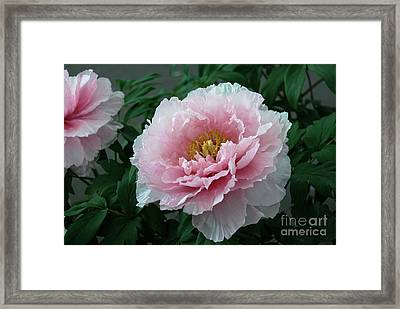Pink Peony Flowers Series 2 Framed Print