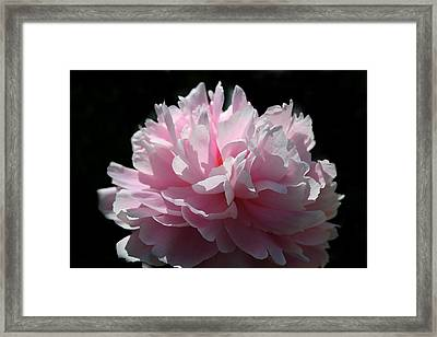 Pink Peony Framed Print by Monika A Leon