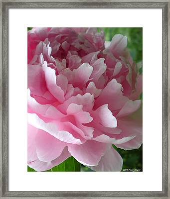 Pink Peony Framed Print by Penny Hunt