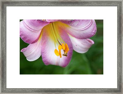 Pink Perfection (lilium Regale) Framed Print by Anna Yu