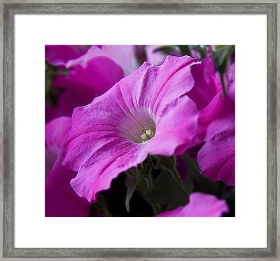 Pink Petunia II Framed Print by Michael Friedman