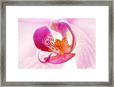 Pink Phalaenopsis Framed Print by Fabrizio Troiani