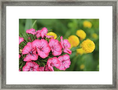 Pink Phlox And Yellow Buttons Framed Print