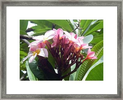 Pink Plumeria Framed Print by Vicky Tarcau