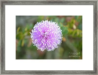 Pink Pompom Framed Print by Saifon Anaya