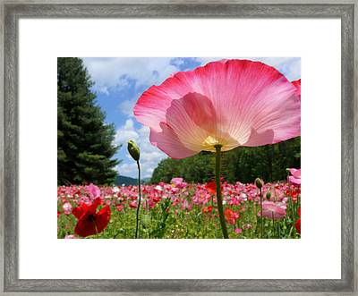 Pink Poppy Petals Shine Above A Field Framed Print by Amy White & Al Petteway
